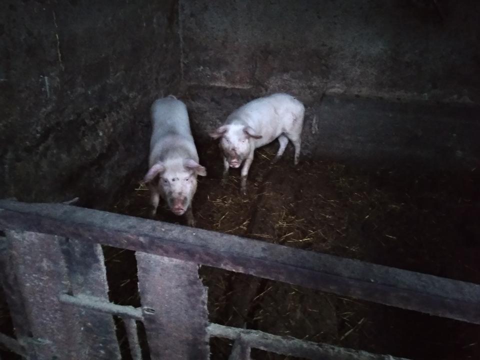 Свиня в кількості 1 голови, білого кольору, орієнтованою вагою 40,00 кг