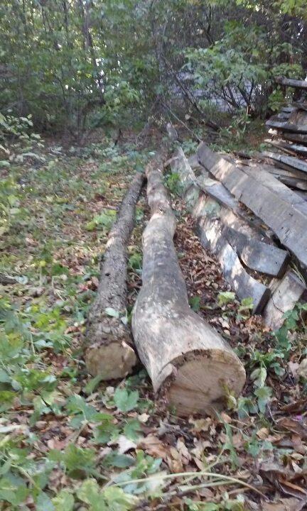 Два сироростучих стовбура дерева