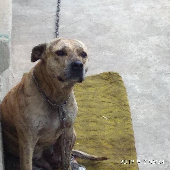 Собака породи «Піт-бультер'єр». 2015 р.н.