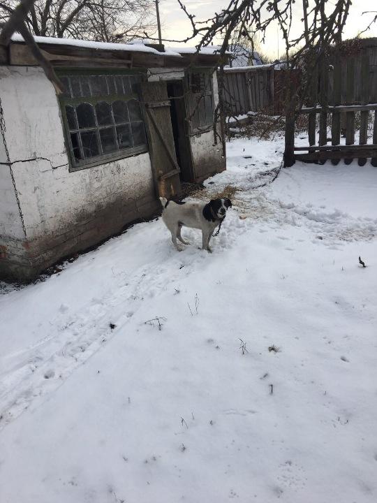 Собака невеликого розміру, чорно-білого кольору, з невеликим хвостиком